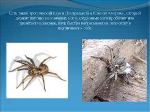 Есть такой тропический паук в Центральной и Южной Америке, который держит пау