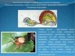 Паутинный аппарат у пауков расположен на брюшке. Функцию выведения секрета же