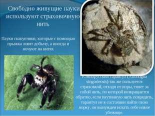 Южнорусский тарантул (Allohogna singoriensis) так же пользуется страховкой, о