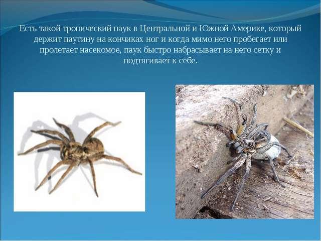 Есть такой тропический паук в Центральной и Южной Америке, который держит пау...
