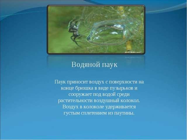 Водяной паук Паук приносит воздух с поверхности на конце брюшка в виде пузырь...