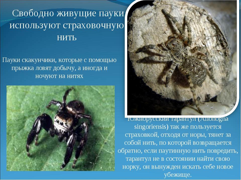 Южнорусский тарантул (Allohogna singoriensis) так же пользуется страховкой, о...