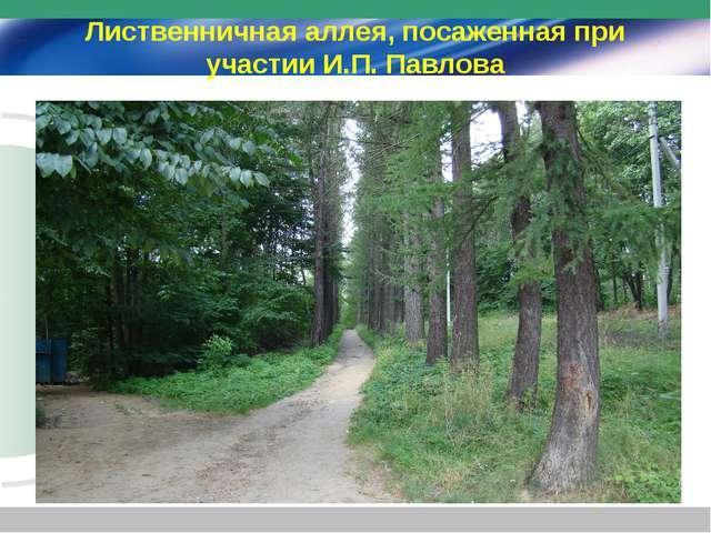 Лиственничная аллея, посаженная при участии И.П. Павлова