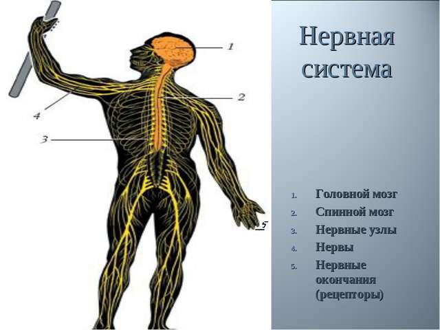 Нервная система Головной мозг Спинной мозг Нервные узлы Нервы Нервные окончан...