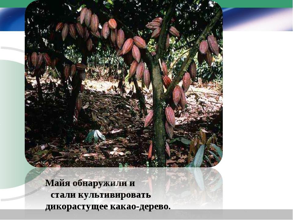 Майя обнаружили и стали культивировать дикорастущее какао-дерево.