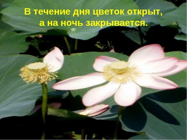 В течение дня цветок открыт, а на ночь закрывается.