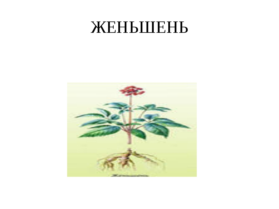 ЖЕНЬШЕНЬ