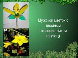 Мужской цветок с двойным околоцветником (огурец)