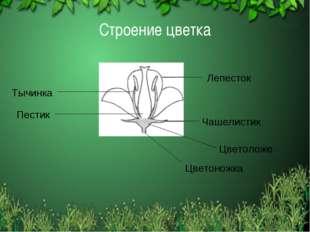 Строение цветка Тычинка Пестик Цветоложе Лепесток Чашелистик Цветоножка
