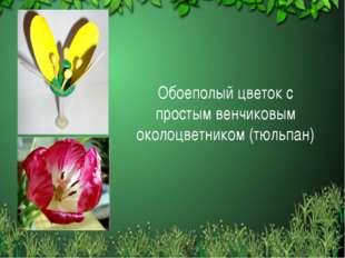 Обоеполый цветок с простым венчиковым околоцветником (тюльпан)