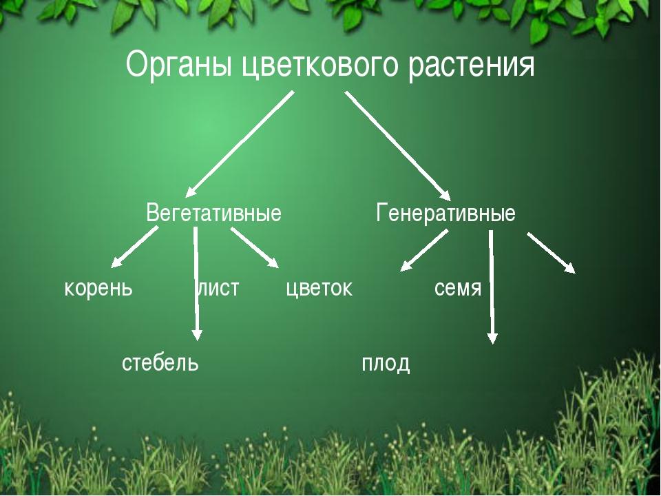 Органы цветкового растения Вегетативные Генеративные корень лист цветок семя...