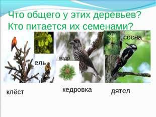 Что общего у этих деревьев? Кто питается их семенами? клёст ель кедровка кедр