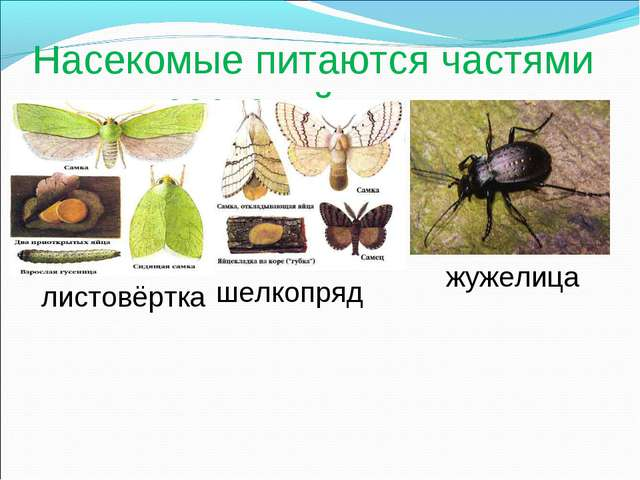 Насекомые питаются частями живых растений жужелица листовёртка шелкопряд