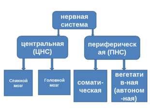 нервная система центральная (ЦНС) периферическая (ПНС) сомати-ческая вегетати