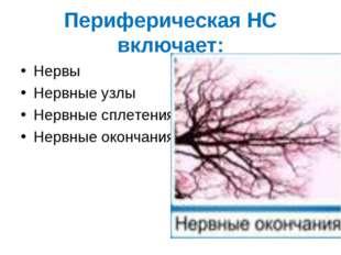 Периферическая НС включает: Нервы Нервные узлы Нервные сплетения Нервные окон