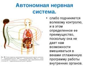 Автономная нервная система. слабо подчиняется волевому контролю, и в этом опр