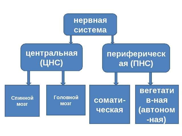 нервная система центральная (ЦНС) периферическая (ПНС) сомати-ческая вегетати...