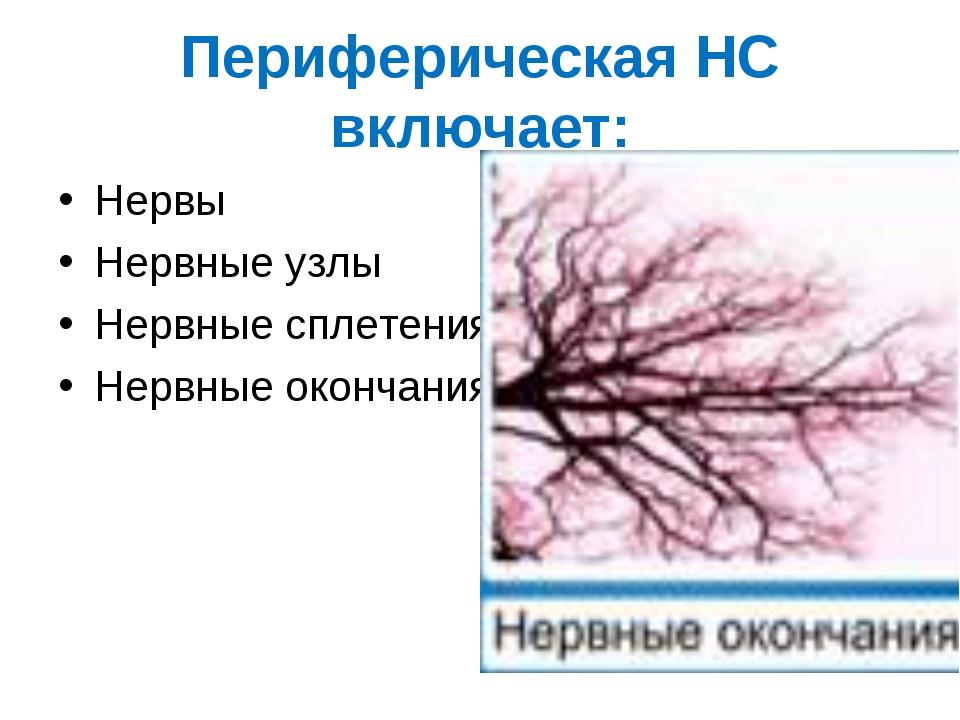 Периферическая НС включает: Нервы Нервные узлы Нервные сплетения Нервные окон...