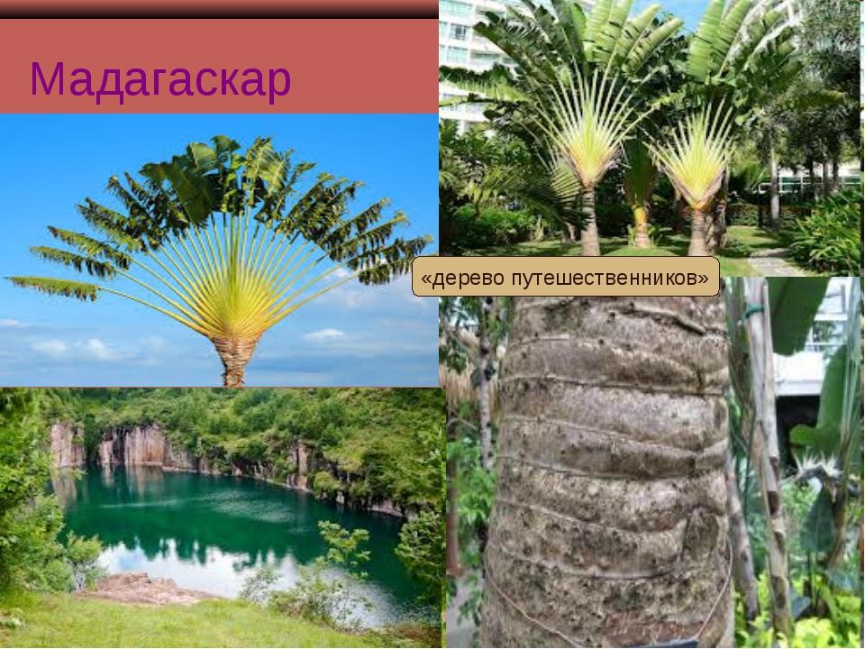 Мадагаскар «дерево путешественников»