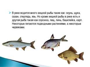 В реке водится много хищной рыбы такие как: окунь, щука, сазан, стерлядь, язь