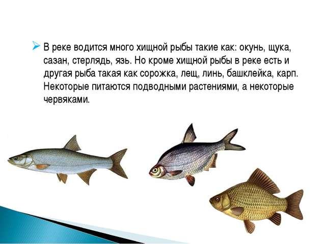 В реке водится много хищной рыбы такие как: окунь, щука, сазан, стерлядь, язь...