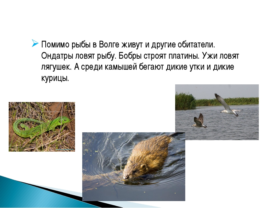 Помимо рыбы в Волге живут и другие обитатели. Ондатры ловят рыбу. Бобры строя...