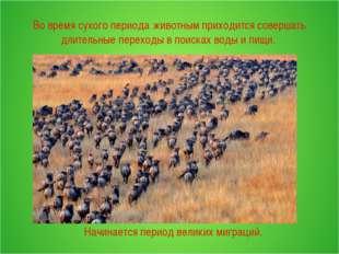 Во время сухого периода животным приходится совершать длительные переходы в