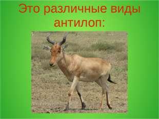 Это различные виды антилоп: