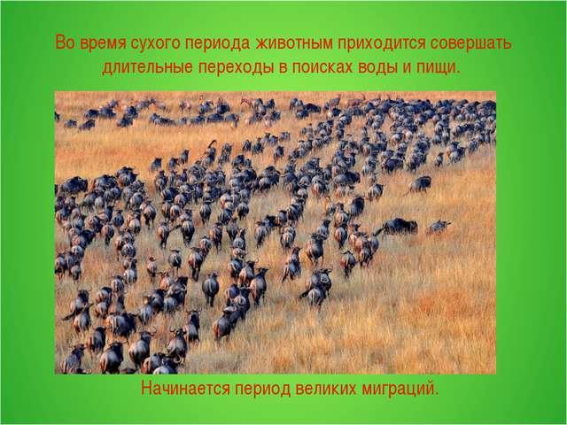 Во время сухого периода животным приходится совершать длительные переходы в...
