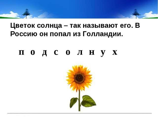 Цветок солнца – так называют его. В Россию он попал из Голландии. подс о...