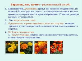 Бархатцы, или, тагетес – растения нашей клумбы. Бархатцы очень декоративны. Ц