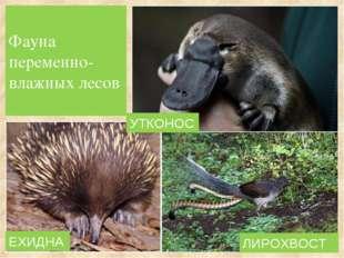 Фауна переменно-влажных лесов ЕХИДНА ЛИРОХВОСТ УТКОНОС