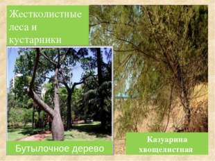Жестколистные леса и кустарники Бутылочное дерево Казуарина хвощелистная