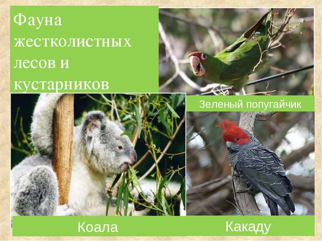 Фауна жестколистных лесов и кустарников Зеленый попугайчик Коала Какаду