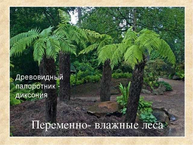 Переменно- влажные леса Древовидный папоротник - диксония