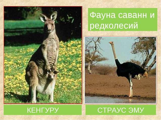 КЕНГУРУ Фауна саванн и редколесий СТРАУС ЭМУ