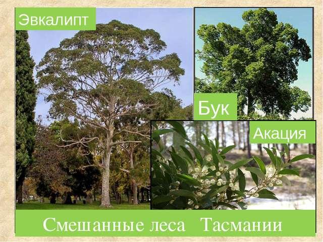 Смешанные леса Тасмании Бук Акация Эвкалипт