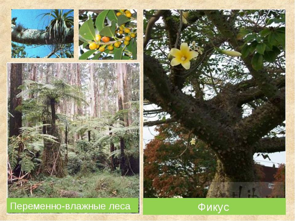 Фикус Переменно-влажные леса