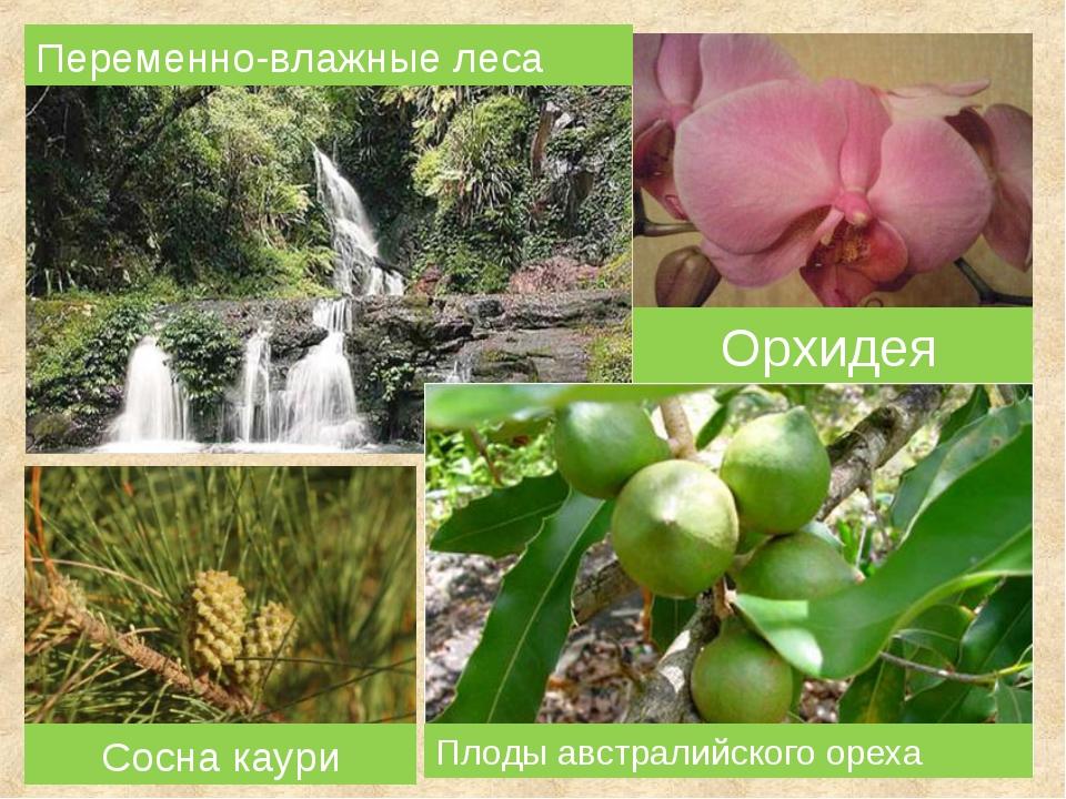 Плоды австралийского ореха Переменно-влажные леса Сосна каури Орхидея