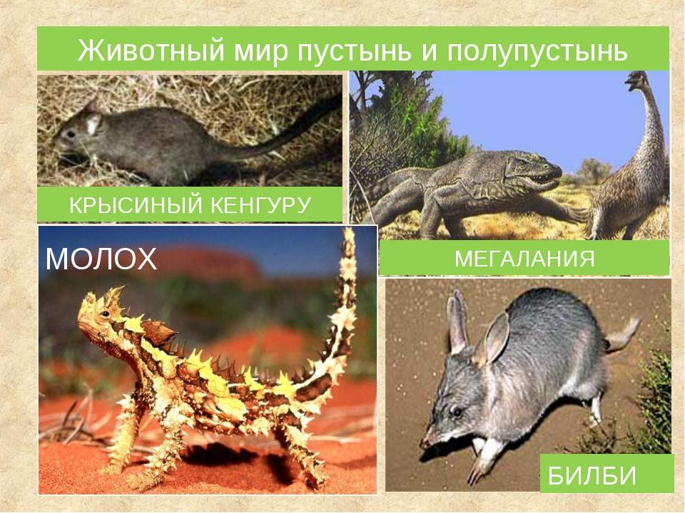 МОЛОХ МЕГАЛАНИЯ БИЛБИ КРЫСИНЫЙ КЕНГУРУ Животный мир пустынь и полупустынь