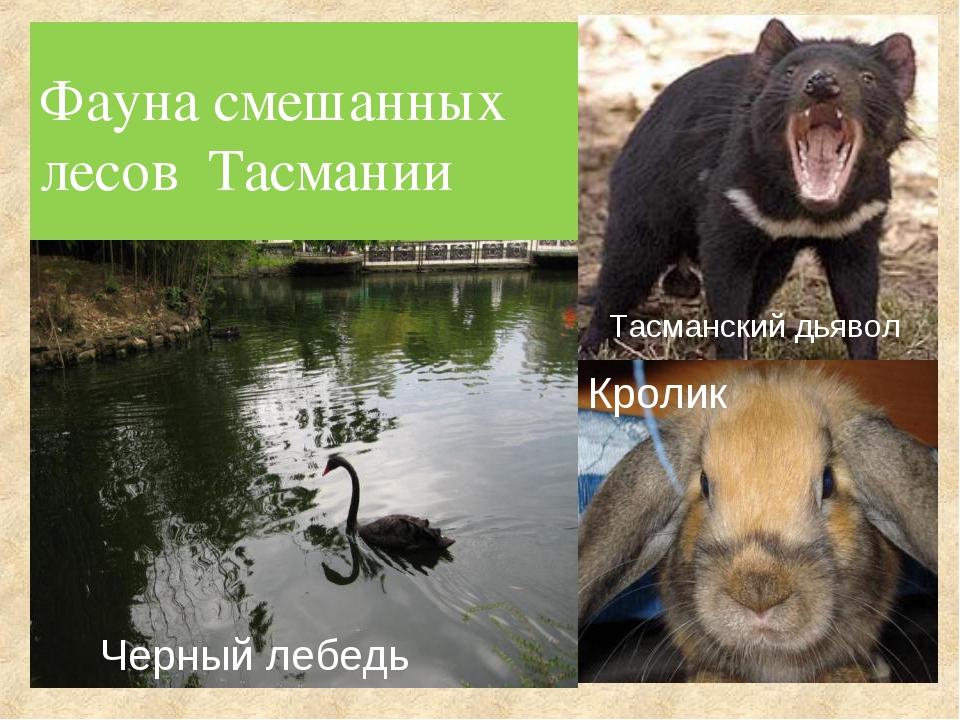 Фауна смешанных лесов Тасмании Черный лебедь Кролик Тасманский дьявол