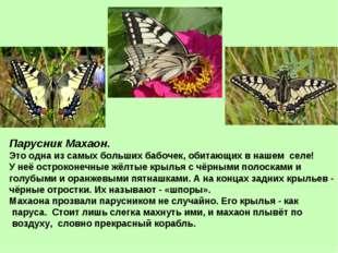 Парусник Махаон. Это одна из самых больших бабочек, обитающих в нашем селе! У