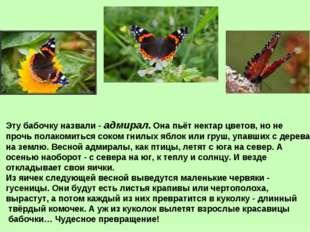 Эту бабочку назвали - адмирал. Она пьёт нектар цветов, но не прочь полакомить