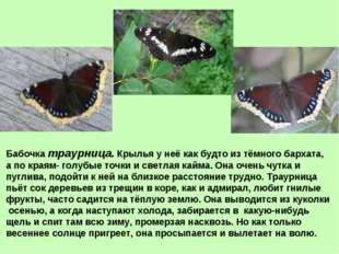 Бабочка траурница. Крылья у неё как будто из тёмного бархата, а по краям- гол