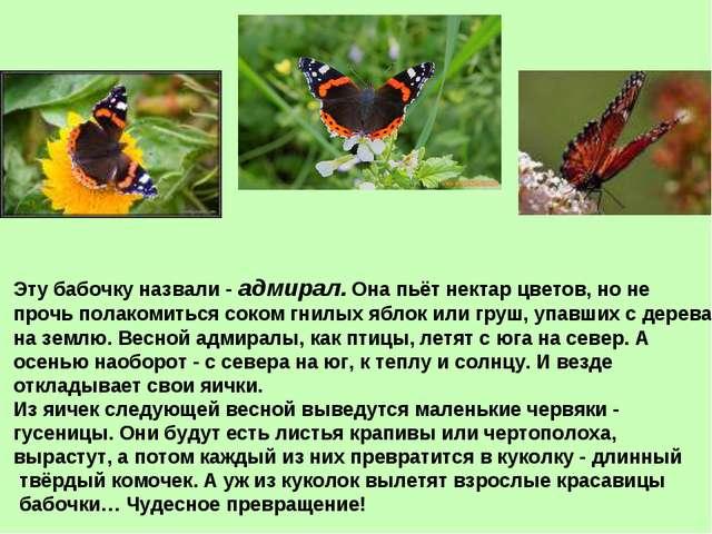 Эту бабочку назвали - адмирал. Она пьёт нектар цветов, но не прочь полакомить...