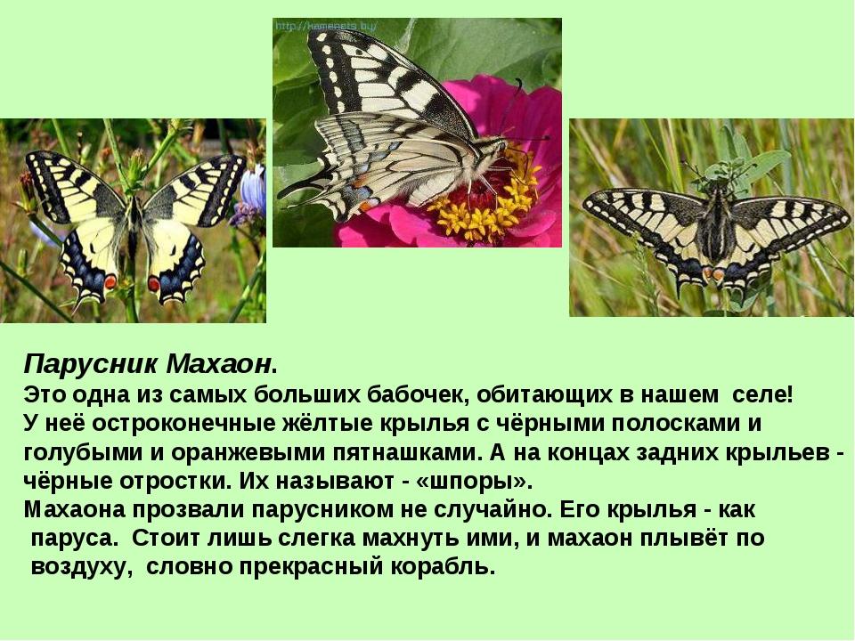 Парусник Махаон. Это одна из самых больших бабочек, обитающих в нашем селе! У...