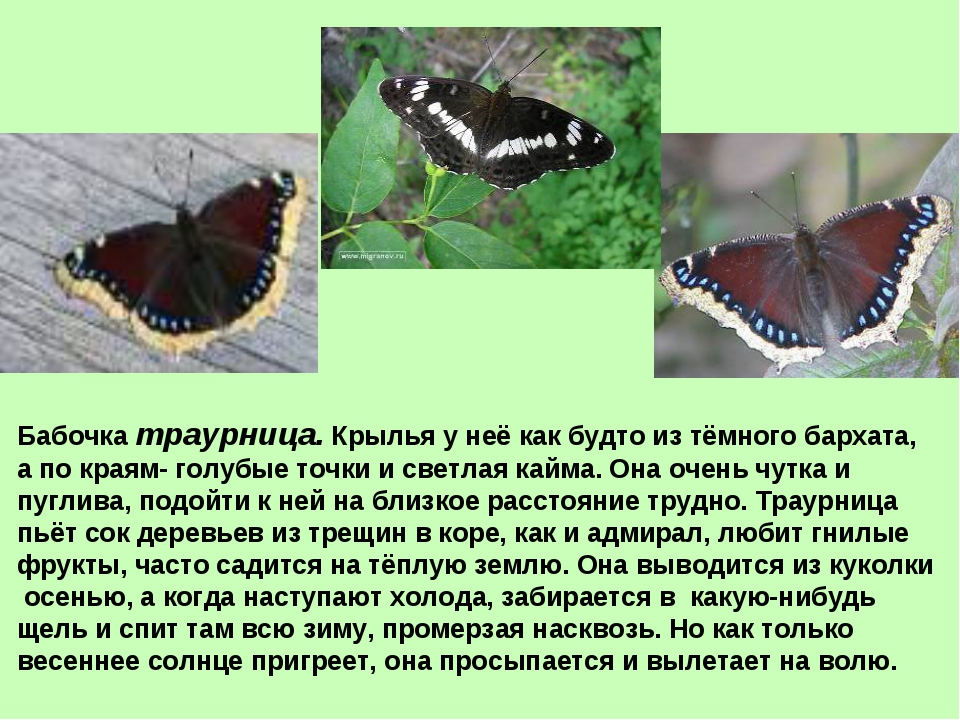 Бабочка траурница. Крылья у неё как будто из тёмного бархата, а по краям- гол...