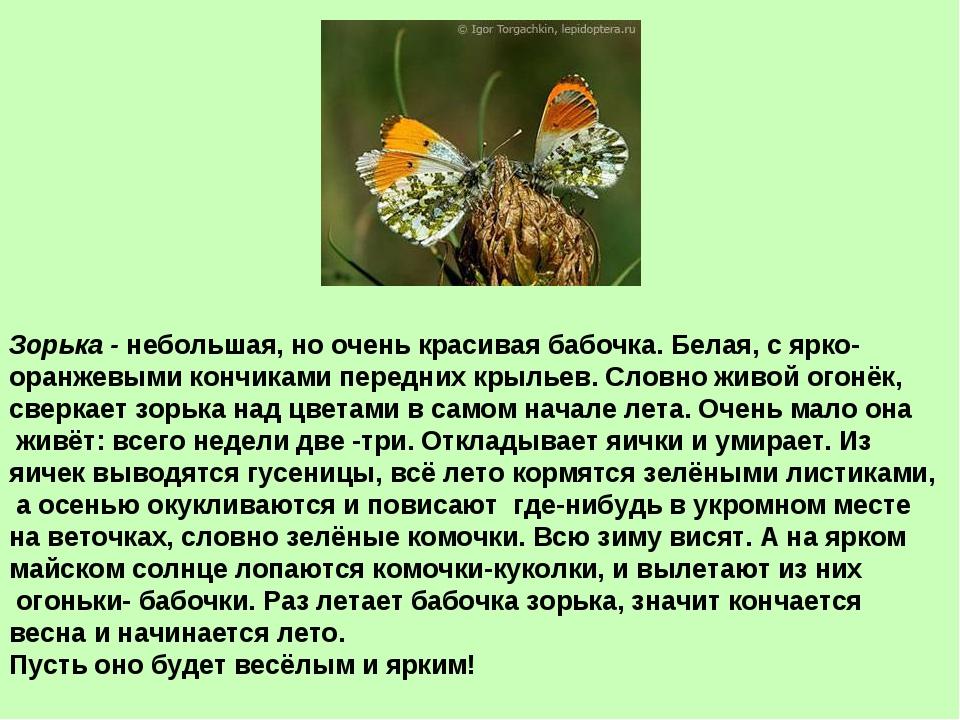 Зорька - небольшая, но очень красивая бабочка. Белая, с ярко- оранжевыми конч...