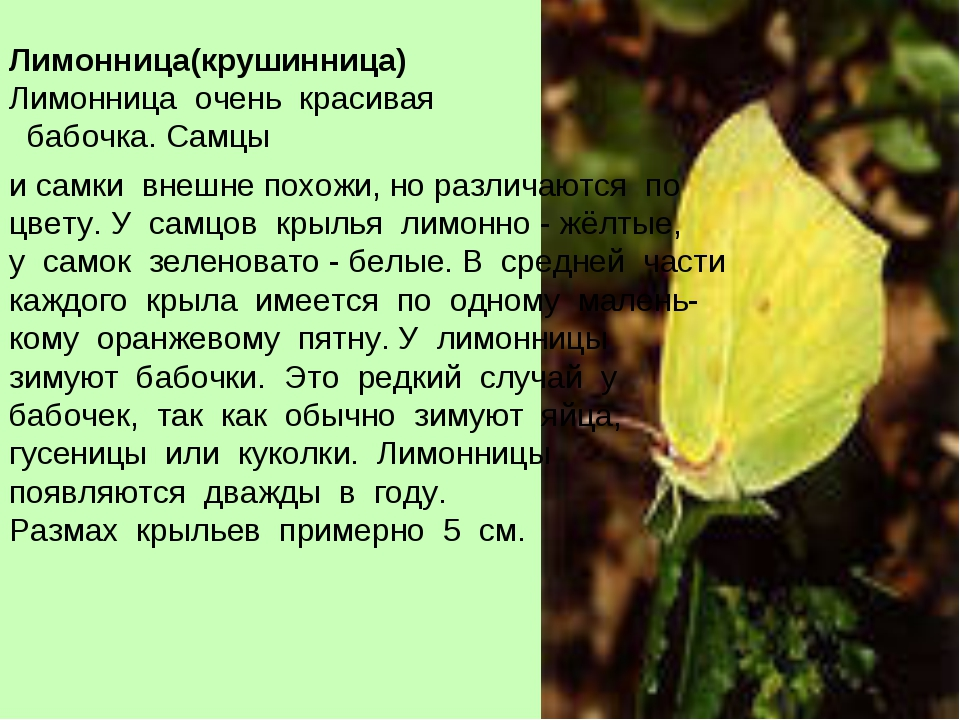 Лимонница(крушинница) Лимонница очень красивая бабочка. Самцы и самки внешне...