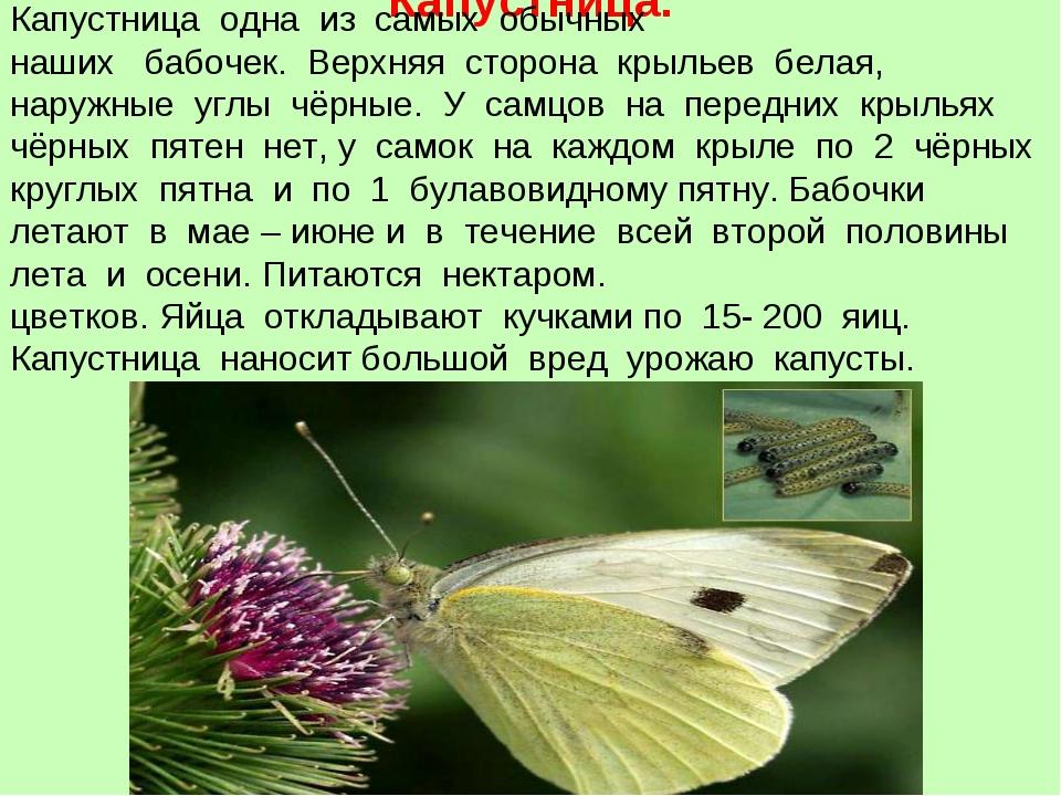 Капустница. Капустница одна из самых обычных наших бабочек. Верхняя сторона к...